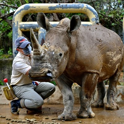 Taiwan prepares white rhino 'Emma' to find mate in Japan
