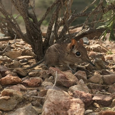 Long 'lost' elephant shrew found in Horn of Africa