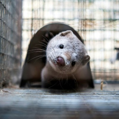 Spain to cull nearly 100,000 mink with coronavirus