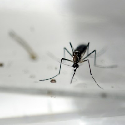 Fighting mosquito-borne diseases... with mosquitoes