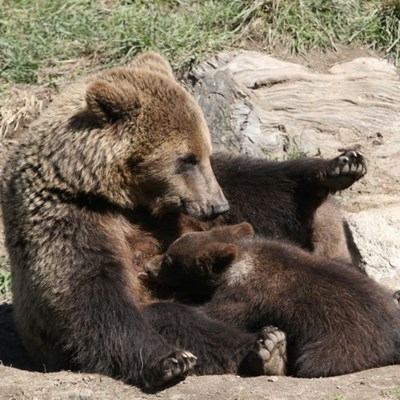 Third bear killed in Pyrenees this year