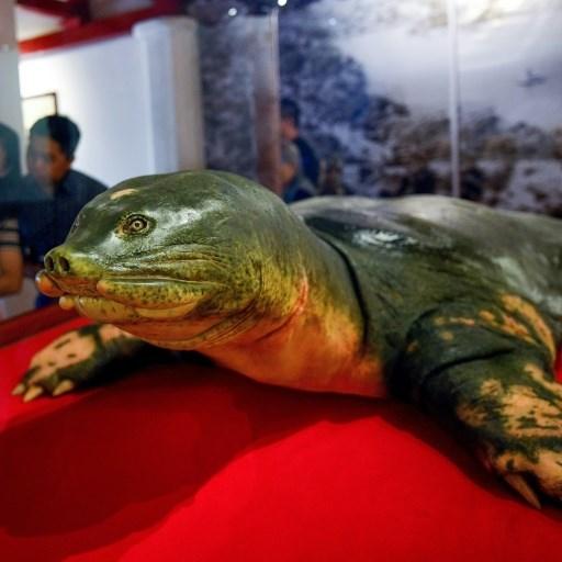 Eternal shell: Sacred turtle embalmed in Hanoi