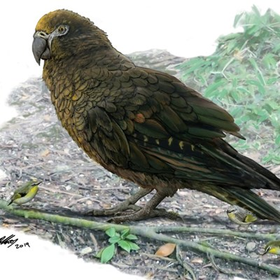 Evidence of 'Herculean' parrot found in  New Zealand
