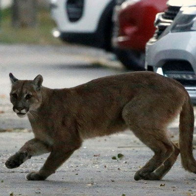 Ex-soldier who fled with puma turns himself over to police