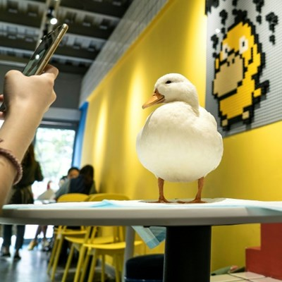 Coffee and quacks served up at Chengdu duck cafe