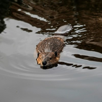 Brought in by humans, beavers threaten Patagonia forest