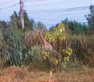 Long road to freedom: fugitive giraffe legs it in Thailand