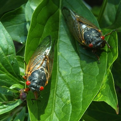 Americans brace for a rare and creepy billion-bug invasion