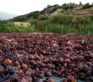 Cyprus toasts harvest of the 'wine of gods'
