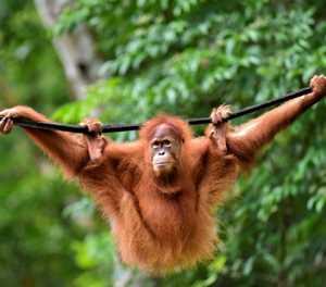 Indonesia pet orangutans released back into the wild
