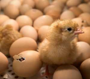German court allows slaughter of male chicks to continue