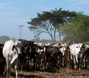 Raising cattle a risky business for Venezuela ranchers