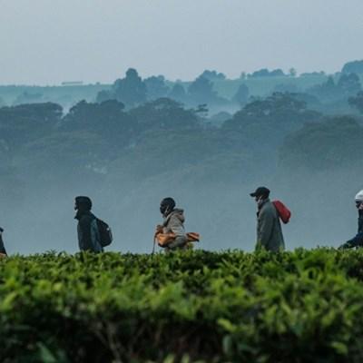 Climate to ravage Kenya's tea production