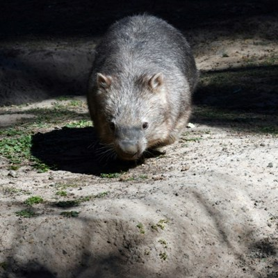 Aussie policeman investigated over wombat stoning