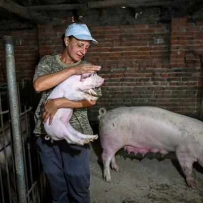 Bulgaria, Romania struggle with swine fever outbreaks