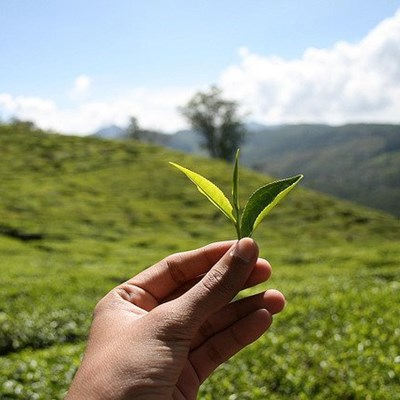 Rooibos: good production management key to higher yields