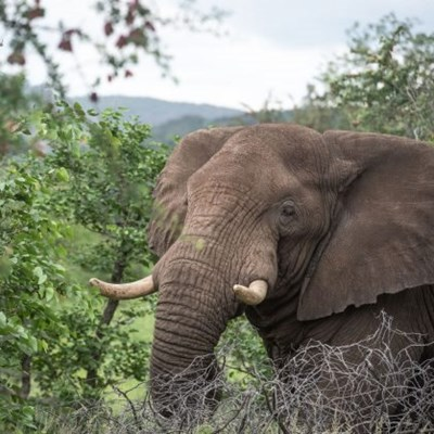 African elephant status change a wake-up call for humans
