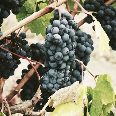 Slightly larger wine grape harvest expected in 2020