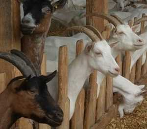 Goat breeding: the challenges faced by smallholders