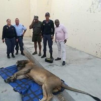 Wandering Karoo lion found