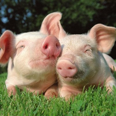 Happy pigs make for good business