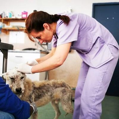 SPCA saves skeletal dog from Maraiskamp