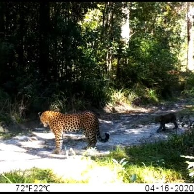 Leopard and cubs spotted