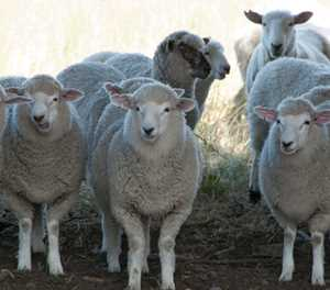 No such thing as 'ethical' live sheep exports, says NSPCA
