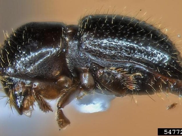 Online tree borer survey available