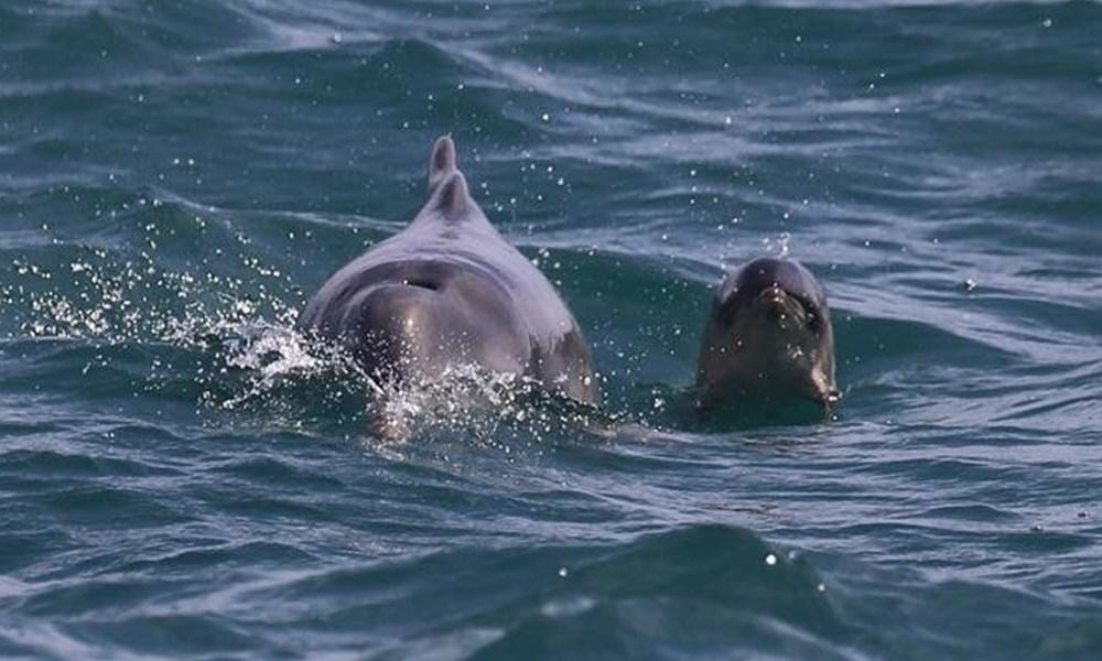 Rare sighting of dolphin