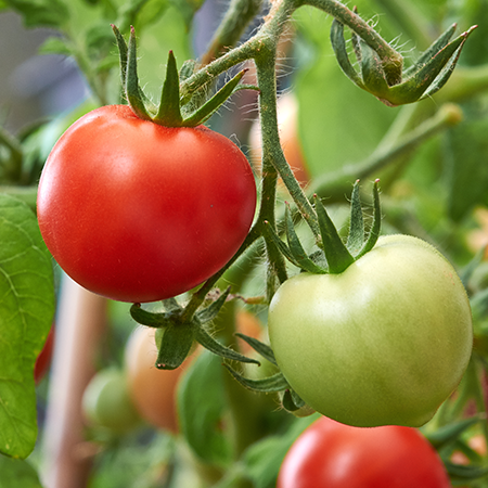 Exciting tomato varieties