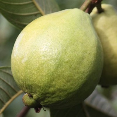 Fears about labour shortages for 2020 guava harvest