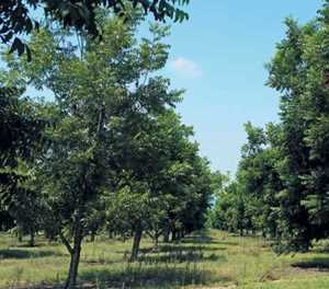 Pecan nut farming: High cost, big returns