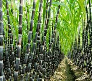 Lower crude oil prices to affect SA sugar industry