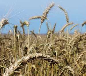 Above normal rainfall forecast bodes well for winter grain