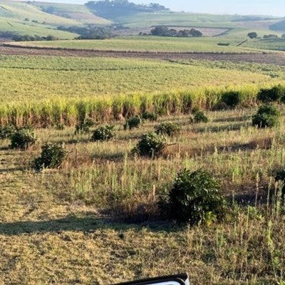 Poachers destroy macadamia trees in Tongaat, costing farmers millions