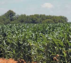 Price collusion in Zimbabwe's hybrid seed market