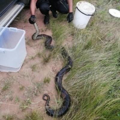 Massive python captured in KZN by herdsman