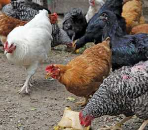 Free-range chickens: Part-time farmer's success
