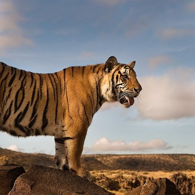 A Unique Encounters with Tigers in the Karoo