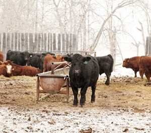 Protect livestock against pneumonia in winter