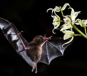 Bats: the answer to macadamia pests?