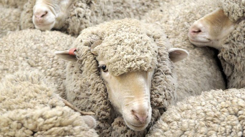 Wool Market Off To A Good Start Mossel Bay Advertiser
