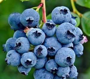Rapid increase in SA blueberry production – Absa report
