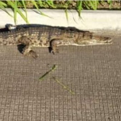1.4m Nile crocodile spotted 'hitchhiking' on the N2