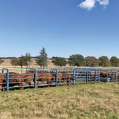 The importance of maintaining reproductive health in a herd