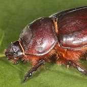 Tree loss pushing beetles to the brink
