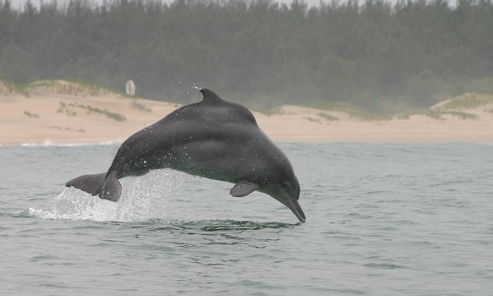 Endangered humpback dolphin gets tattoos