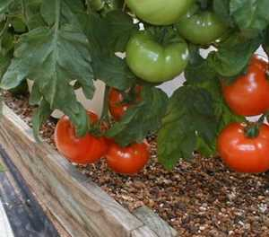 Growing tomatoes: know the varieties
