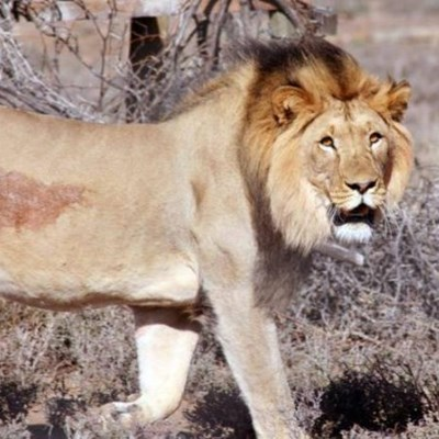 Lion allegedly on the loose in Phalaborwa